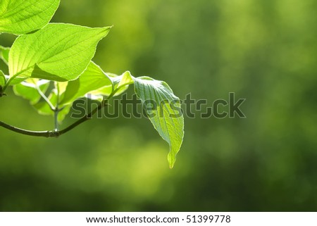 Macro of Dogwood leaves with sunlight on leaves