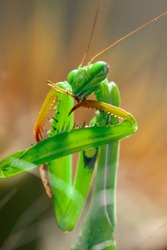 Macro of Female European Mantis, Praying Mantis or Mantis Religiosa (Mantidae) on the hunting. Predator cleans its weapon before attacking the prey. Portrait of insect - alien from another world.