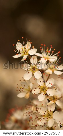 Macro of flowering spring tree (apple blossom or hawthorne).