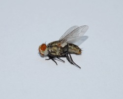 macro of fly on a white background. housefly insect close up