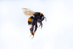 macro of flying bumble bee on a white background
