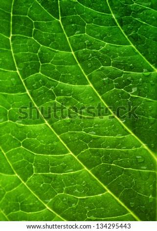 Macro of fresh green leaf as background