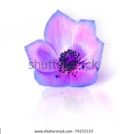 Macro of fresh spring purple wild flower head isolated on white background