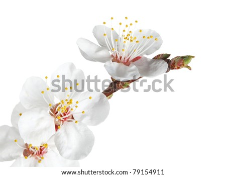 Macro of fruit-tree twig with flowers and bud isolated on white