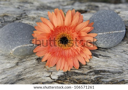 Macro of gerbera blossom with stones on rustic wood texture