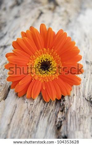 Macro of gerbera flower on a grunge wood background