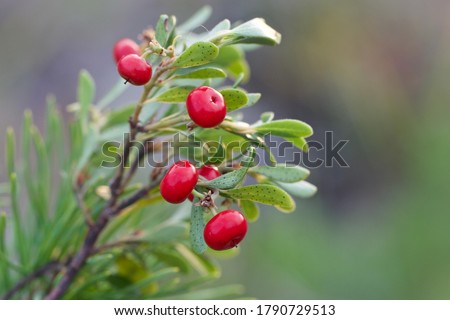 Macro of glossy red bearberries (Arctostaphylos uva-ursi). A branch of a bearberry shrub with scarlet berries.  Foto stock ©