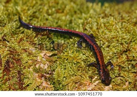 Macro of Golden-striped Salamander (Chioglossa lusitanica) taken in Asturias, Spain.