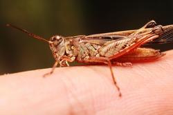 Macro of grasshopper on the finger