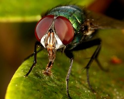 macro of green bottle fly extending it's hairy tongue