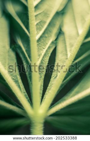 Macro of green Cannabis leaf.