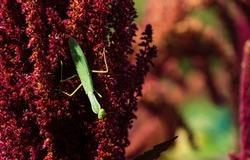 Macro of green European Mantis or Praying Mantis (Mantis Religiosa) from family Sphodromantis viridis looks into camera and sits on purple flower of Amaranthus cruentus.