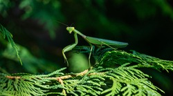 Macro of green female European Mantis or Praying Mantis (Mantis Religiosa) from family Sphodromantis viridis looks into camera on branch of Thuja. Macro in natural habitat, Selective  close-up focus.