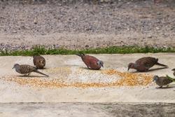 Macro of group asian Grey pigeons ,dove and little bird eating food bird