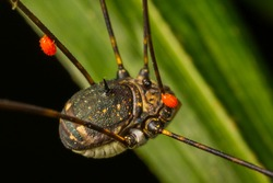 Macro of Harvestman with parasitic Red mites (Erythraeidae) are on his legs in real nature in Thailand.