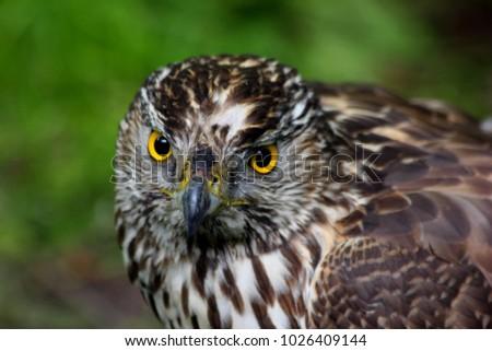 Shutterstock Macro of Hawk or buzzard. Portrait of Red Tailed Hawk (Common buzzard) looking on camera. Close-up of hawk head, feather detail and powerful buzzard. Hawk portrait. Green background long leged buzzard