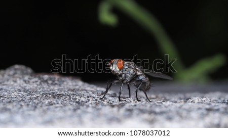 Macro of housefly on the rough wall. Musca domestica linnaeus. #1078037012