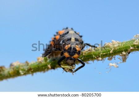 Macro of ladybug larva (Coccinella) on stem eating an aphid on blue sky background