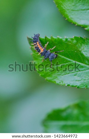 macro of ladybug larva on a green rose leaf, vertical color picture