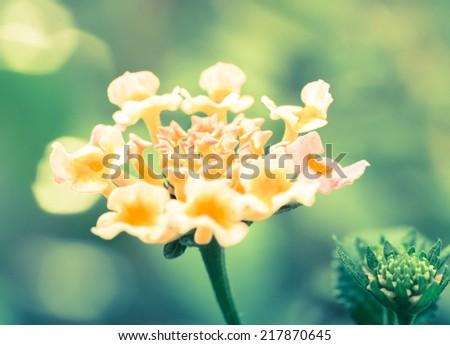 Macro of Lantana flower cross processed with nice bokeh