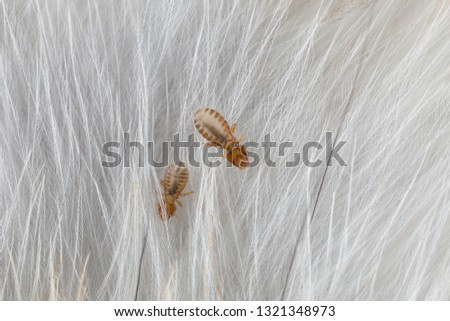 Macro of male and female chewing louse - Strigiphilus cursitans