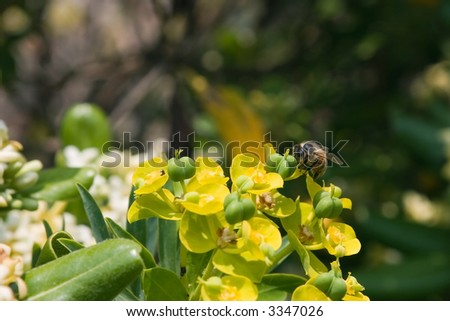 macro of o bee on yellow flower with blue sky on background