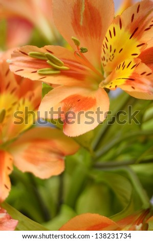 Macro of orange and yellow lily of the Incas (Alstroemeria) in a bouquet of flowers.