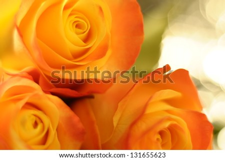 Macro of orange and yellow rose flower with blur effect by low depth of field