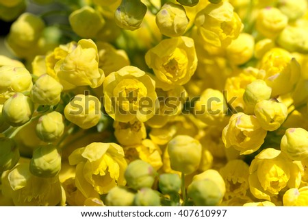 macro of Oregon Grape (Mahonia aquifolium) spring bloom in garden