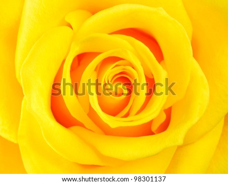 Macro of Perfect Yellow Rose Flower. Flower fills the whole frame
