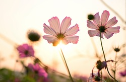 Macro of pink cosmos in backlight at sunset_
