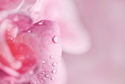 Macro of pink geranium flowers with water droplets
