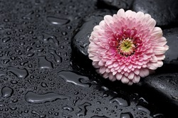 Macro of pink gerbera daisy in wet black stones