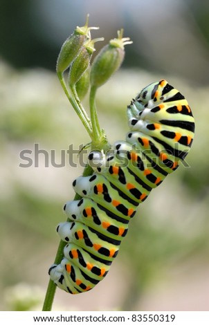Macro of profile a caterpillar swallowtail (Papilio machaon) on grass