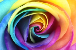 Macro of rainbow rose flower and colorfull petals for background