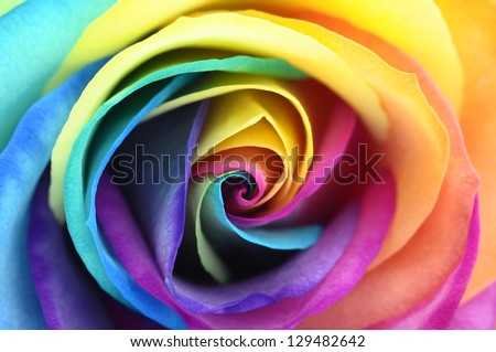 Macro of rainbow rose flower and colorfull petals for for Multi colored rose petals