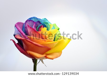 Macro of rainbow rose flower and multi colored petals