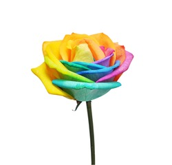 Macro of rainbow rose flower and multi colors petals. Isolated on white background.