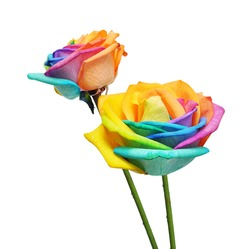Macro of rainbow roses flower and multi colors petals. Isolated on white background.