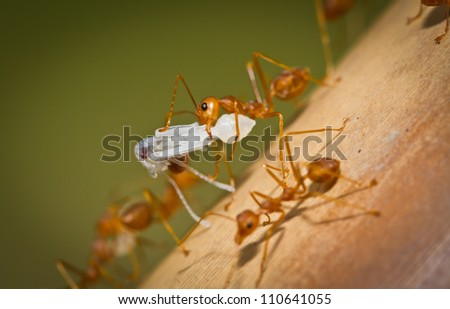 Macro of red ant