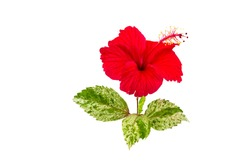 Macro of red China Rose flower  and green leaf  isolate on white background.Saved with clipping path.