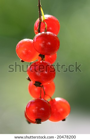 macro of red currants