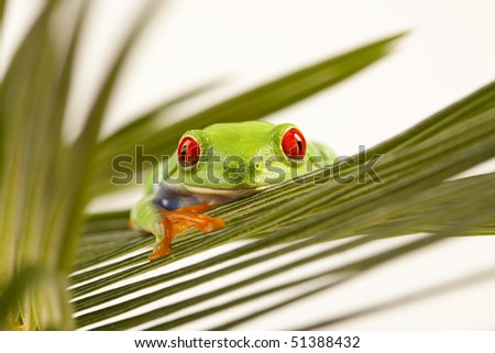 Macro of red eyed tree frog sitting on leaf