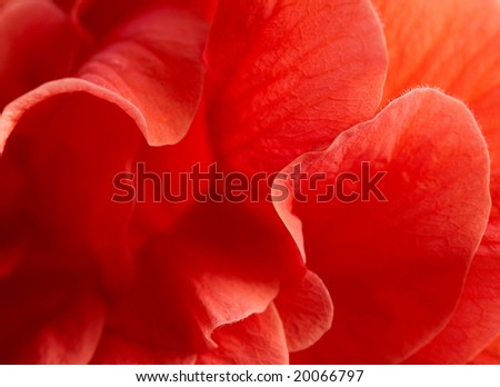 Macro of red hibiscus rosa-sinensis petals.