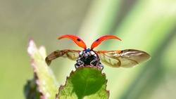 Macro of red ladybird with its wings open