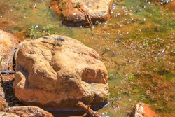 Macro of Red-veined Dropwing Dragonfly, Trithemis arterial, on rock at Ormiston Gorge Water Hole, a refuge for Australian wildlife in West MacDonnell Ranges, Northern Territory, Red Centre, Australia.