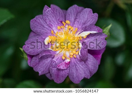 Purple flowers with yellow centers gallery flower decoration ideas small purple flower with yellow center images flower decoration ideas purple flower yellow stamen choice image mightylinksfo Image collections