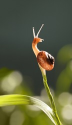 Macro of snail looks around from very top of grass in green garden, low point of view