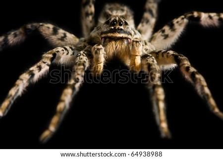 Macro of spider tarantula isolated on black #64938988