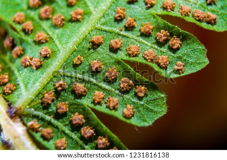 Macro of sword fern spores. Spores on the backside of the fronds